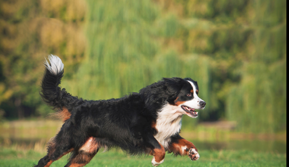 Using Nutrition to Help Large Breed Dogs
