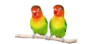 Habitat Sweet Habitat: Parrotlets & Lovebirds